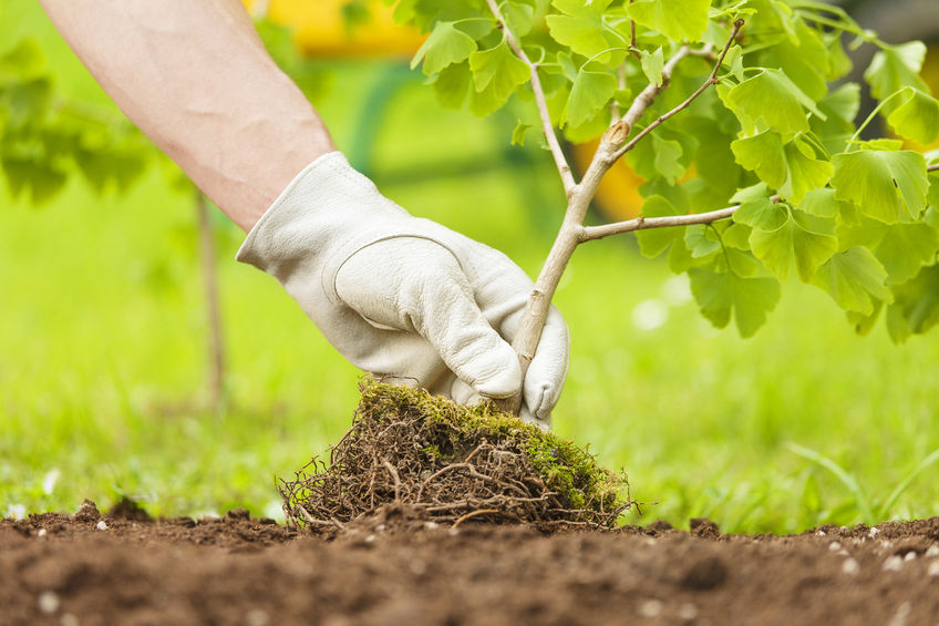 Hand planting a small tree
