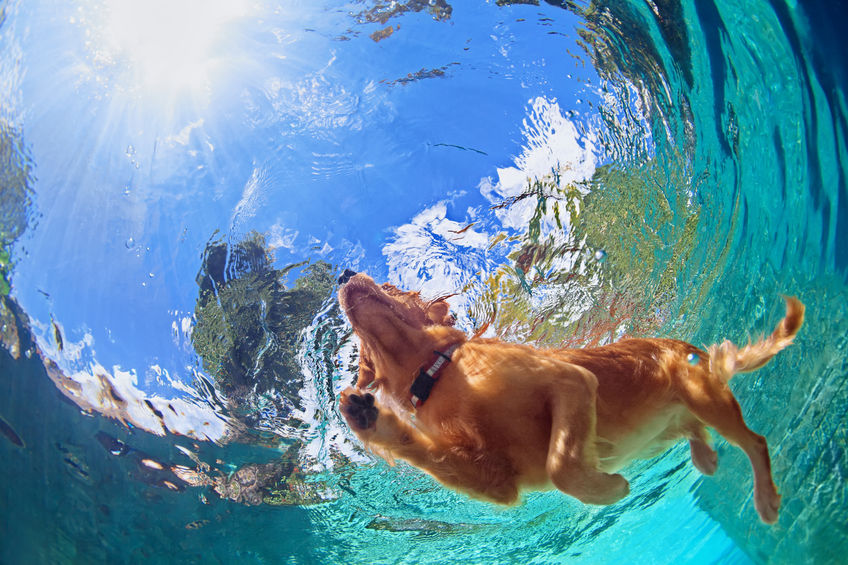 Underwater photo of golden labrador retriever puppy in outdoor swimming pool