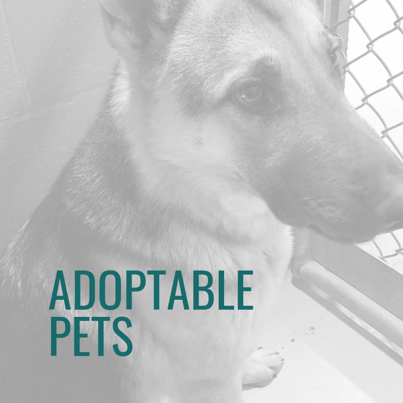 German Shepherd at Shelter