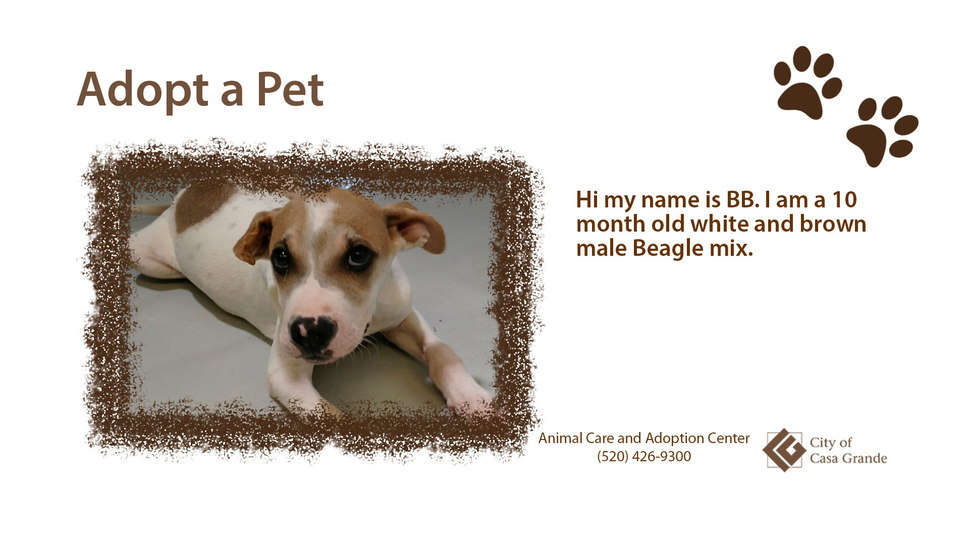 Ten month old white and brown male Beagle mix named BB