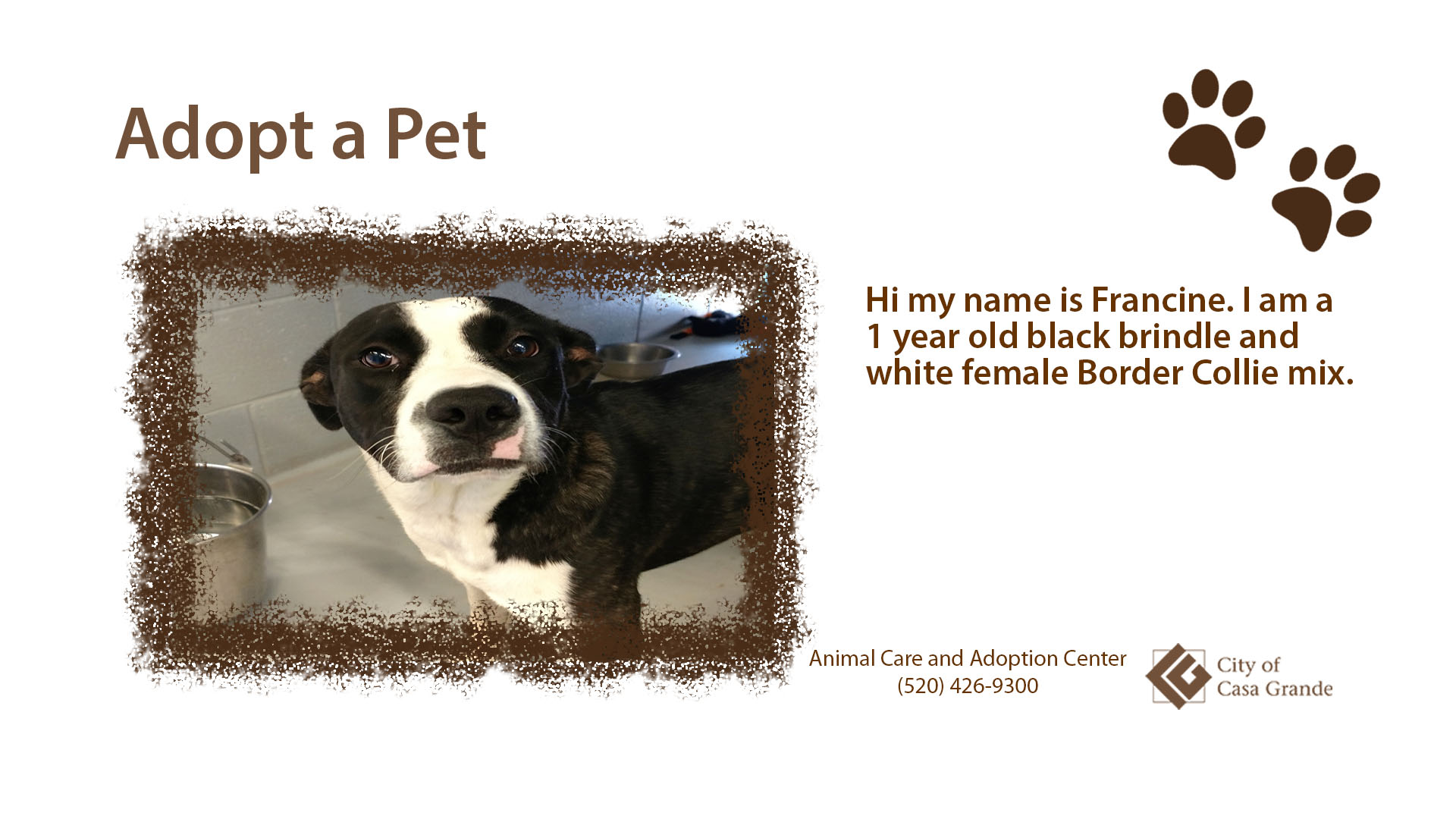 One year old black brindle and white female Border Collie mix dog named Francine