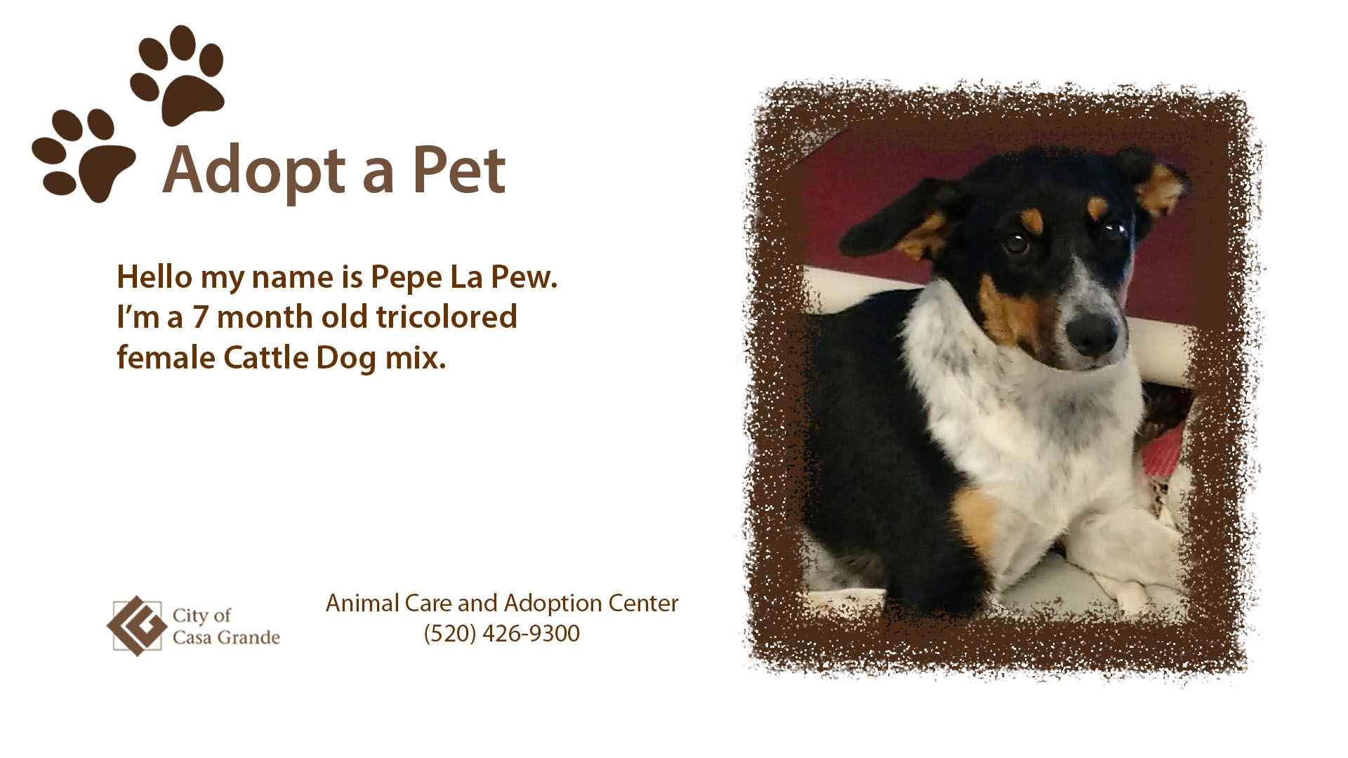 Seven month old tricolored female Cattle Dog mix named Pepe La Pew