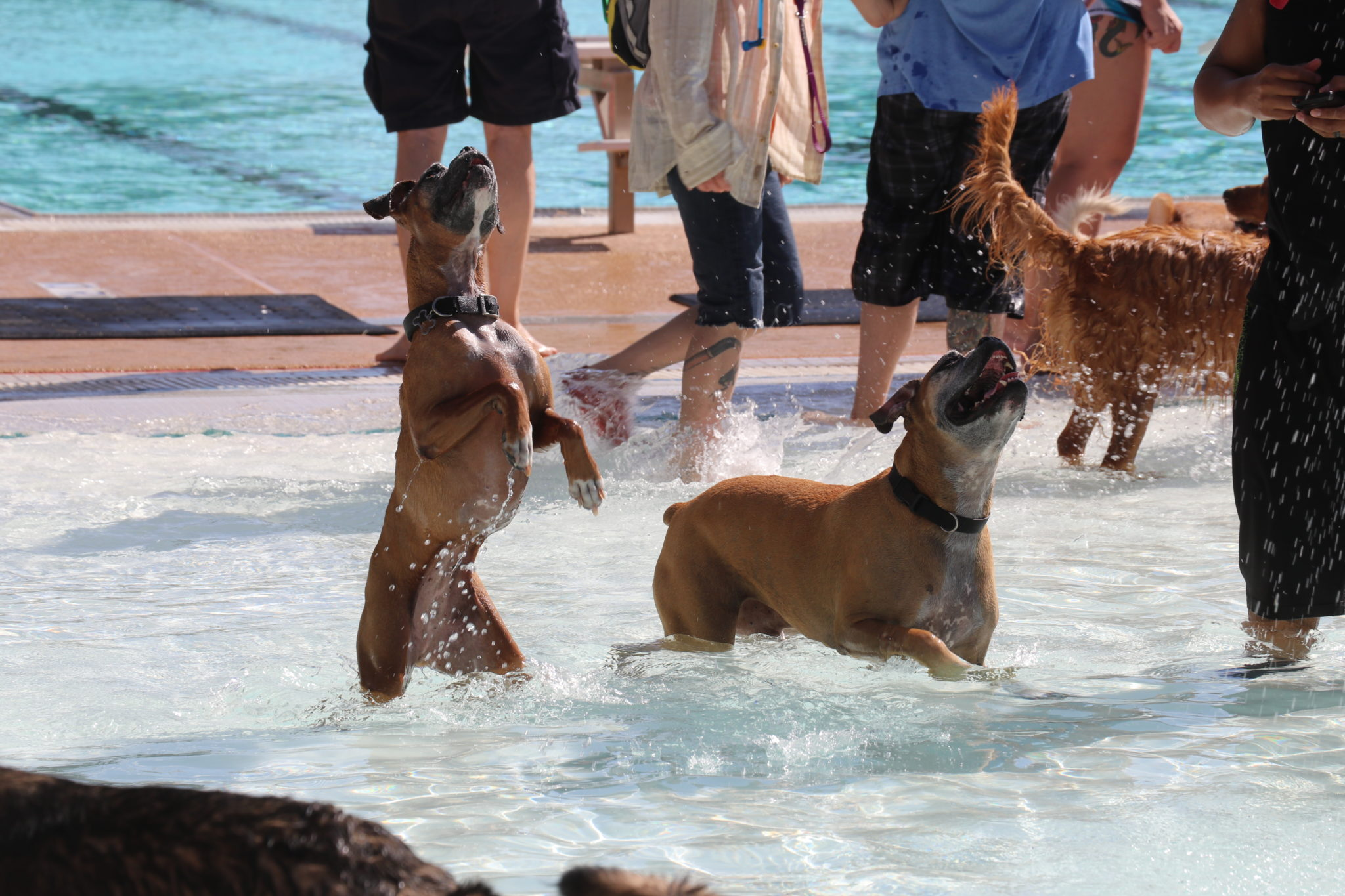 two boxers jumping in the pool